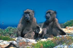 kaap de goede hoop bavianen