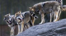wolven in skansen